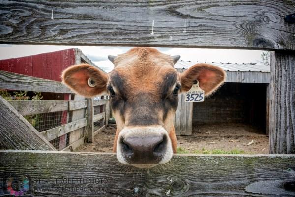 Tempus Aura Studio - Eugenie Robitaille - Steve Troletti Photography: MAMMALS / MAMMIFÈRES &emdash; Le veau de la ferme chez Les Jardins Provost