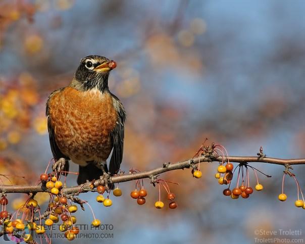 Steve Troletti Photo - Tempus Aura: THRUSHES - AMERICAN ROBINS / GRIVES - MERLES D'AMÉRIQUE (Turdidae) &emdash; American Robin / Merle d'Amérique