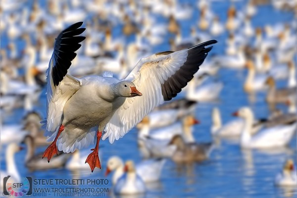 Steve Troletti Editorial, Nature and Wildlife Photographer: SNOW GOOSE / OIE DES NEIGES (Chen caerulescens) &emdash; Snow Goose Landing / Oie des neiges atterrissant