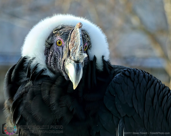 Steve Troletti Photography: VULTURES / VAUTOURS (Cathartidae) &emdash; Andean Condor / Condor des Andes