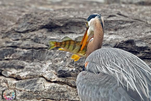 Steve Troletti Photography: HERONS, EGRETS, BITTERNS / HÉRONS, AIGRETTES et BUTORS (Ardeidae) &emdash; Great Blue Heron Spear Fishing / Grand Héron harponnant sa proie