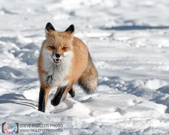 Steve Troletti Photography: MAMMALS / MAMMIFÈRES &emdash; Red Fox on the run! / Renard roux à la course!