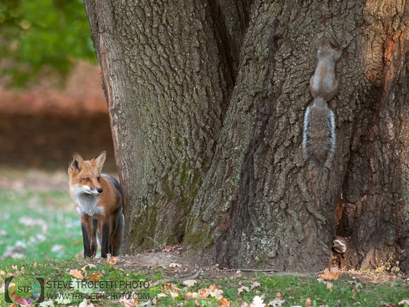 Steve Troletti Photography: PICTURE OF THE DAY / PHOTO DU JOUR &emdash; The Fox and Squirrel... / Le renard et l'écureuil ...