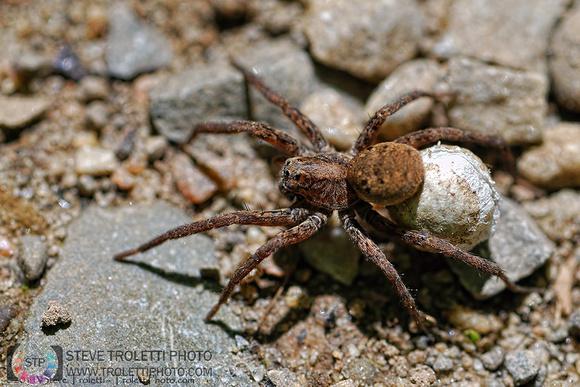 Steve Troletti Photography: Arachnids / Arachnides / Arachnida &emdash; Spider Carrying Egg Sac