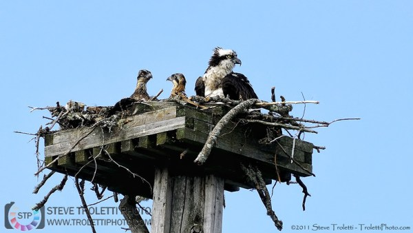 Steve Troletti Editorial, Nature and Wildlife Photographer: PICTURE OF THE DAY / PHOTO DU JOUR &emdash; Ospreys in Nest / Balbuzards au nid
