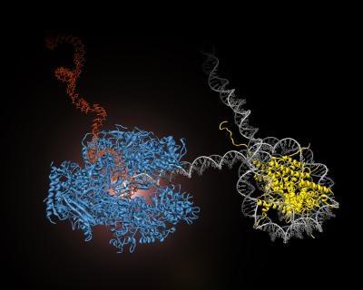 Messenger RNA (mRNA): RNA polymerase II (blue) transcribes mRNA (red) from DNA (gray).