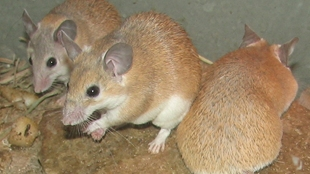 Image result for regenerating mice