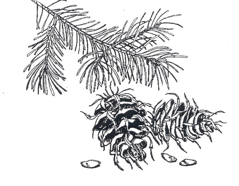 Small Wonders: Douglas-Fir: By Any Other Name