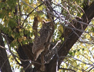 Great Horned Owl, Oct 16 2005