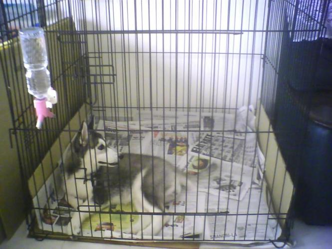 The Siberian Husky D After Being Reprimanded