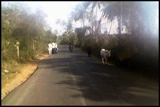 Cows, passengers and motorcycles on an Indian road back in 2006