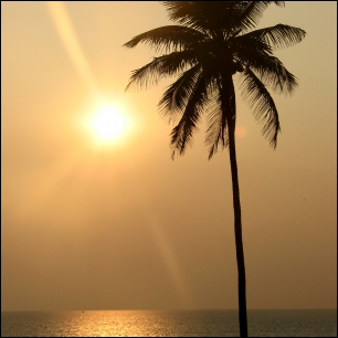 Coconut palm on Goa beach