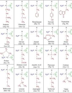 Amino acid chart also molecules rh macromolespot