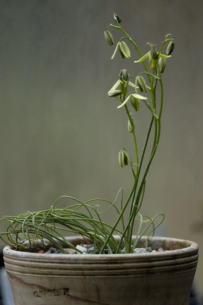Growing With Plants Albuca Spiralis