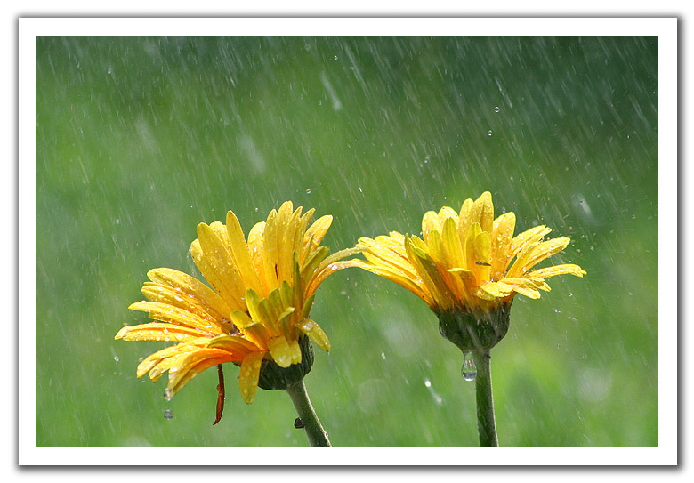Cute Kids Wallpapers Free Download Lovely Flowers Collection Flowers In Rain Blue Rose