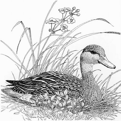 Diane Pierce - Duck Drawing Pencil Art
