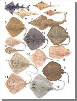 Jenis Ikan Pari : jenis, Jerung