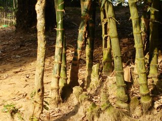 Shade in the Bamboo Grove