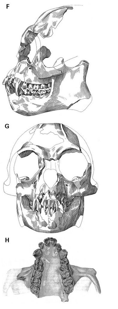 Sinanthropus: Rethinking the Role of Pliopithecids in