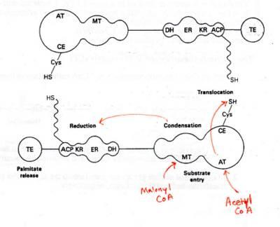 Biochem 415/515: Fatty Acid Synthesis (11/22/04)