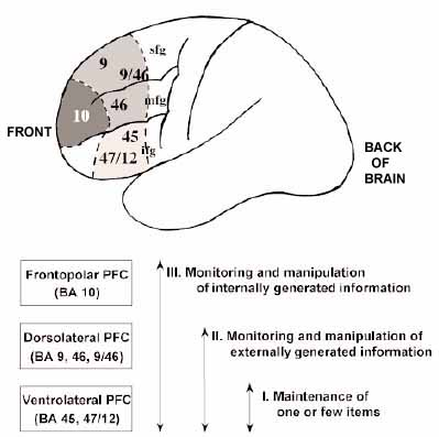 The Neurocritic Frontopolar Cortex Moves to the Back of