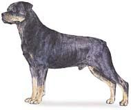 rottweiler Os dez cachorros mais inteligentes e os mais burros