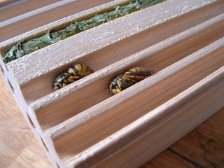 Hibernating wasps.
