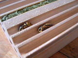 Hibernating wasps.