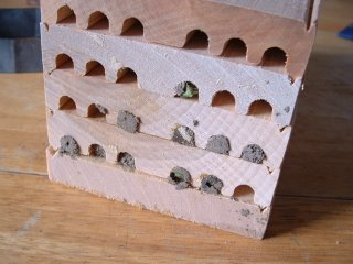 Capped mason bee cells.