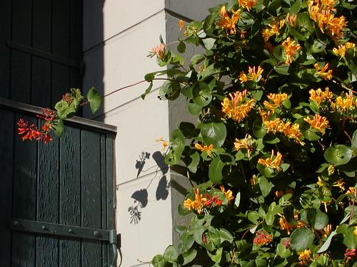 kaprifolien blomstrer også på stenbroen. Foto: Lisa Risager 2005