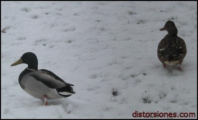 Patos andando en la nieve en Hilversum