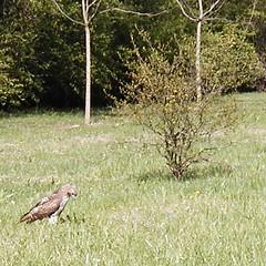 Hawk Alongside Olentangy Trail