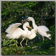 Egret-Trio