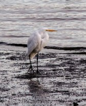 Single-Egret-at-Sunset-Bodega