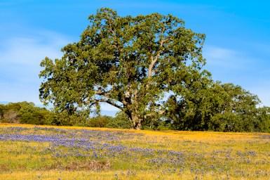 NW-Table-Oak