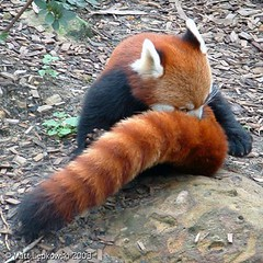 Firefox - Red Panda