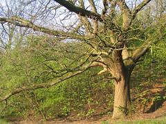 Tree on Fernyhalgh Lane