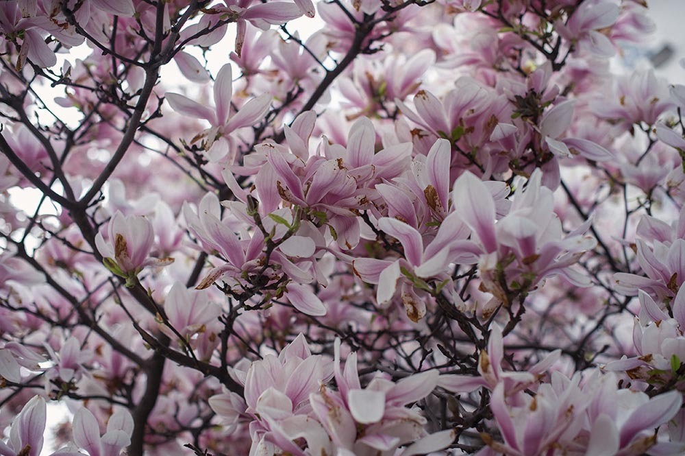 vienna, spring, magnolien, magnolia, kitsch, blooming,