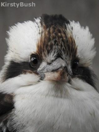 kookaburra_1