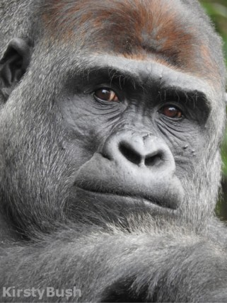 taronga-100-gorilla