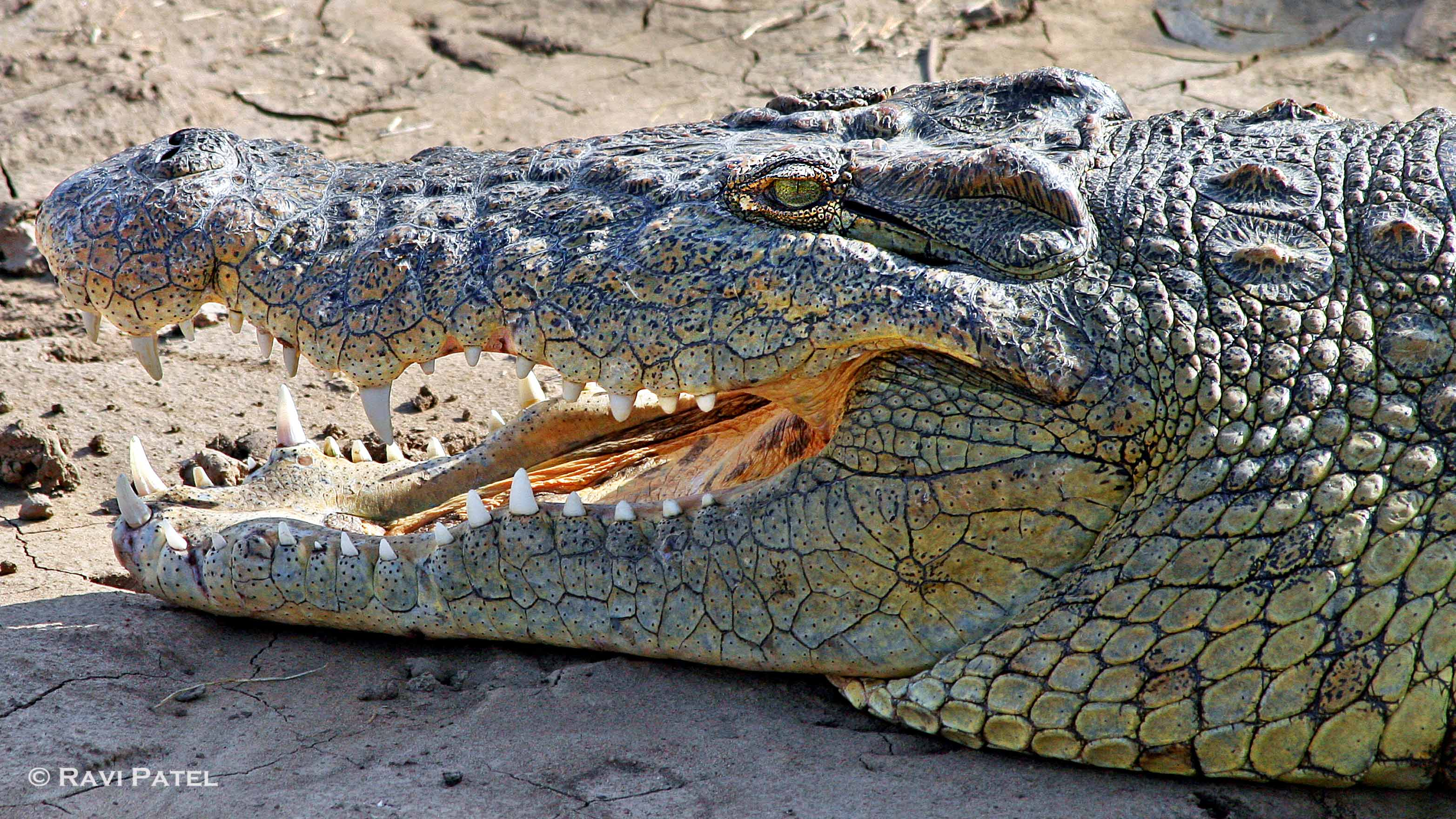 Blue Nile Falls Wallpaper Nile Crocodile Up Close Photos By Ravi