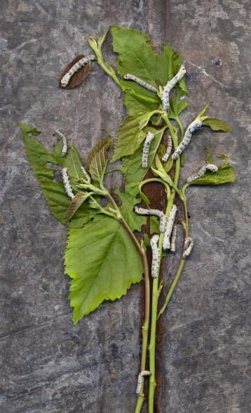 Silkworm Tree · 2011 · 18 x 30 in.