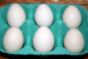 Œufs de poules naines de race sébright