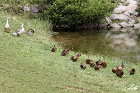 Canards et oies au bord de la rivière