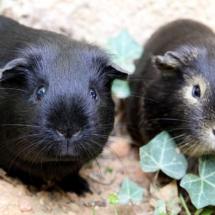 cochons d'Inde