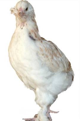 Jeune poule Faverolle de quelques semaines