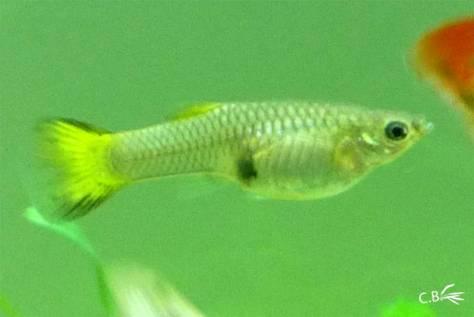 Guppy femelle jaune