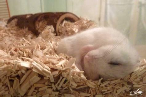 Hamster russe qui dort en boule à l'extérieur de son nid par temps chaud