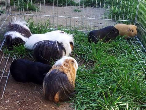 Cochons d'Inde qui tondent l'herbe !