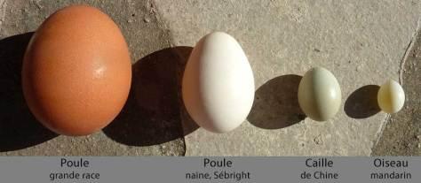 4 œufs de tailles différentes